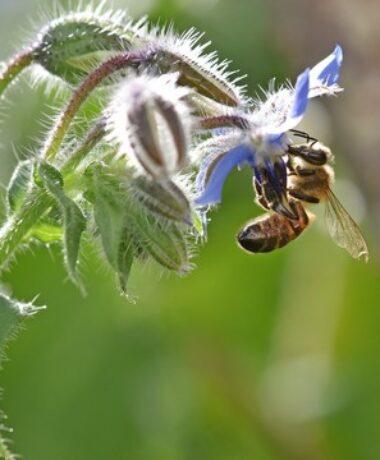 Sortie nature : «A la découverte des abeilles de Rodemack»